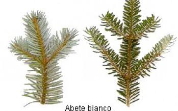 ABETE BIANCO