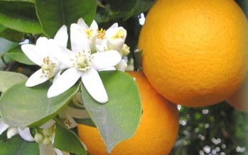 Acqua di fiori d'arancio amaro (Liguria)