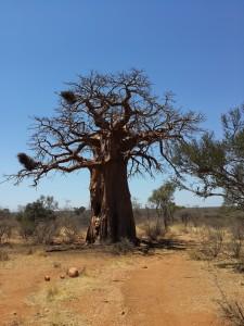 baobab-577761_1920