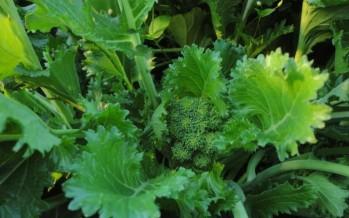 Broccolo Aprilatico di Paternopoli (Campania)