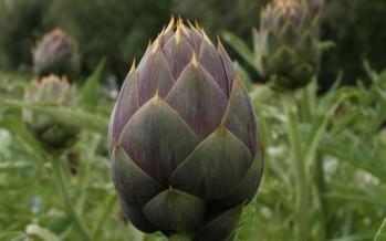Carciofo spinoso di Menfi (Sicilia)