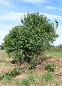 maqui-berry-benefits-tree