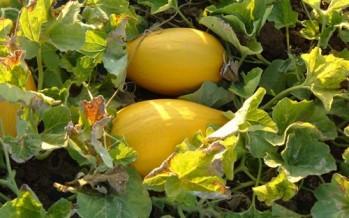 Melone Cartucciaro di Paceco (Sicilia)