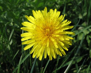 tarassaco fiore